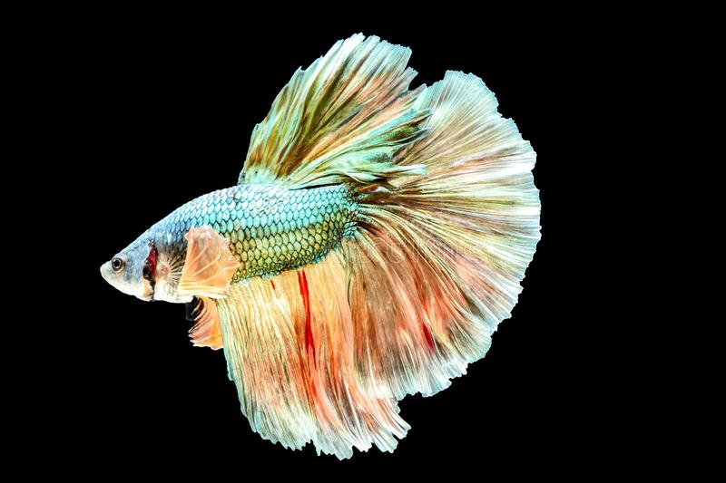 Thai Fighting Fish is a beautiful fish and Thai national fish. royalty free stock photos