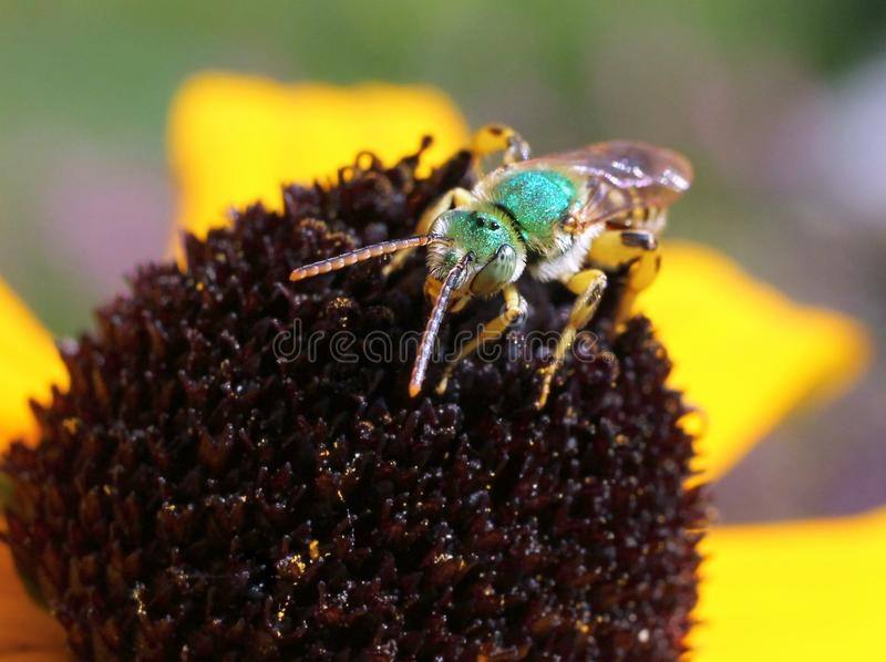 Metallic Green Bee from Front. A Metallic Green Bee on a Black-eyed Susan flower stock photo