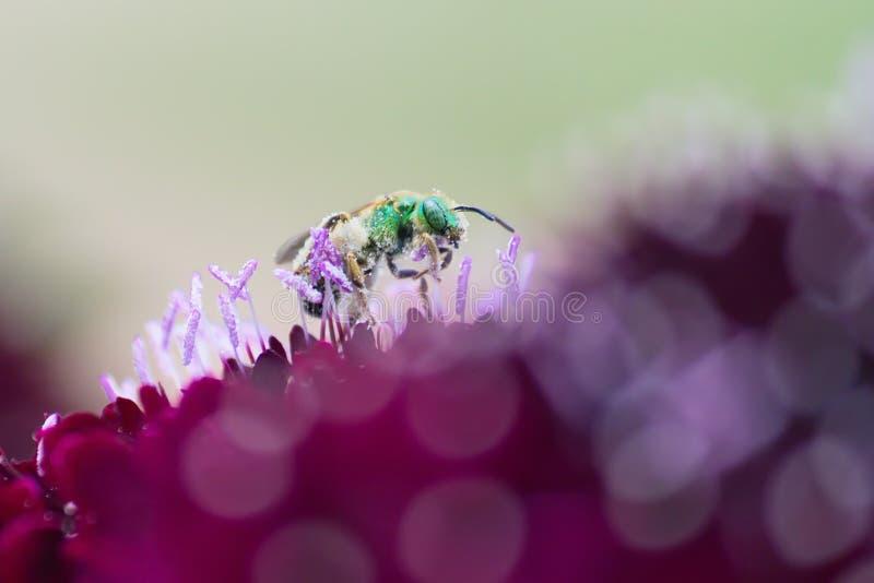 Metallic Green Bee. (Sweat Bee) is collecting pollen from purple knautia flower stock photos