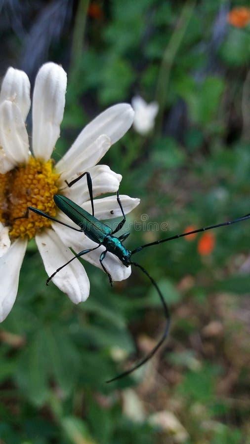 Metallic green Long-horn beetle. A close up view of a of a metallic green Long-horn beetle stock photography