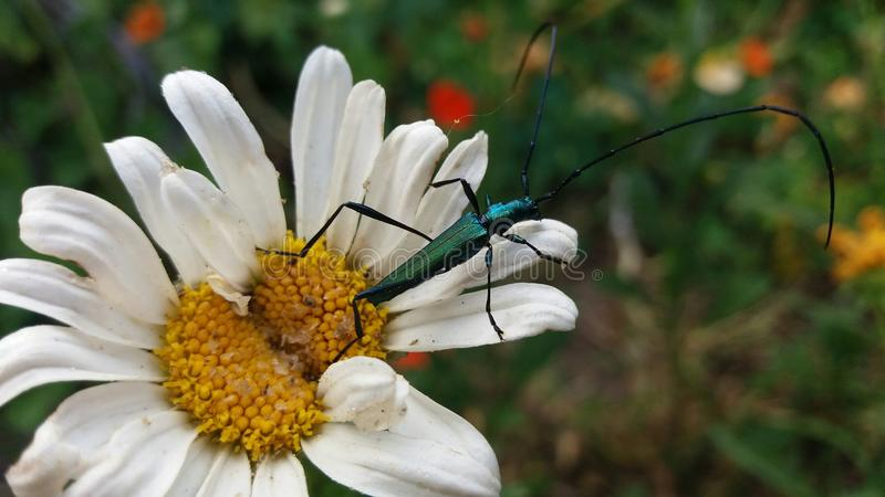 Metallic Long-horn beetle. A close up view of a metallic green Long-horn beetle royalty free stock images
