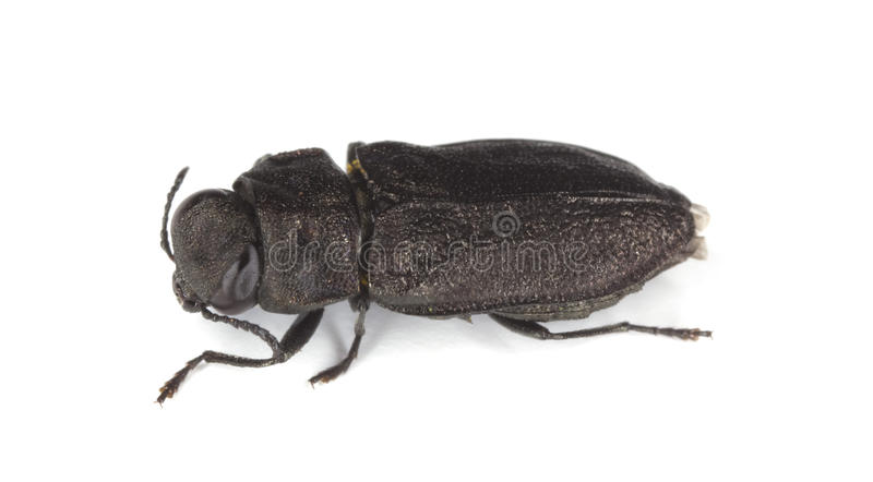 Metallic wood-boring beetle. royalty free stock photos