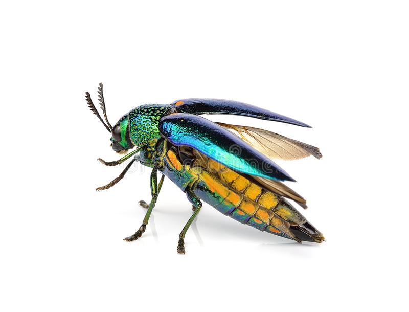 Metallic wood-boring beetle isolated on white background. stock photos