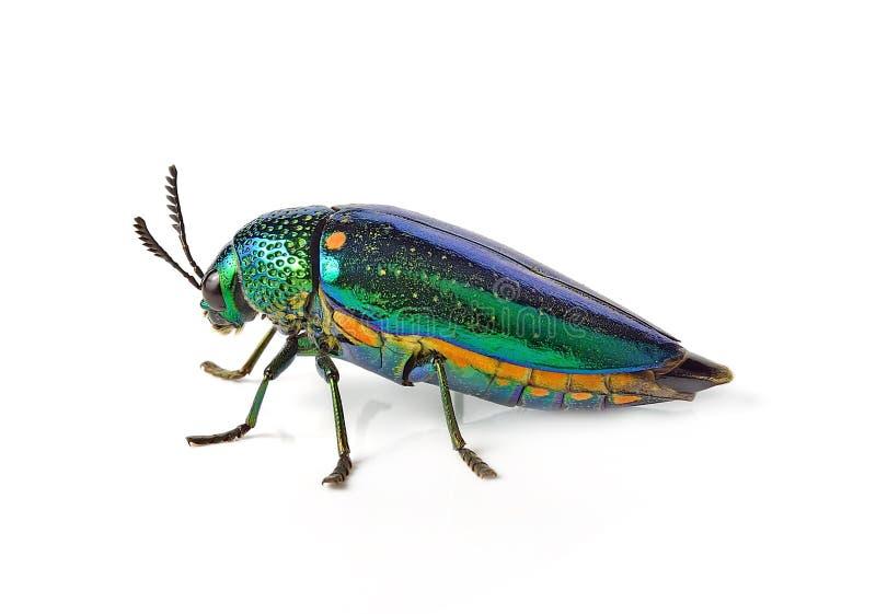 Metallic wood-boring beetle isolated on white background. stock photo