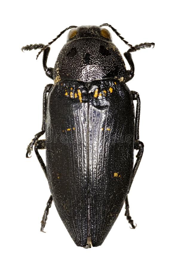 Metallic Wood-Boring Beetle on white Background royalty free stock image
