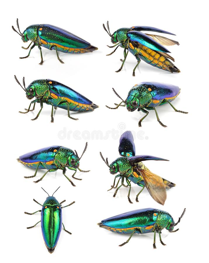 Metallic wood-boring beetle on white background. The metallic wood-boring beetle on white background stock images