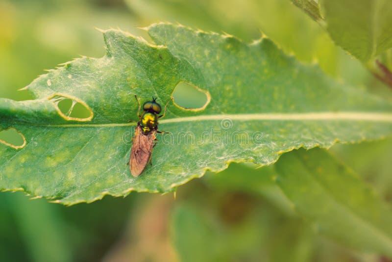 Metallische grüne Fliege auf grünem Blatt stockfotografie
