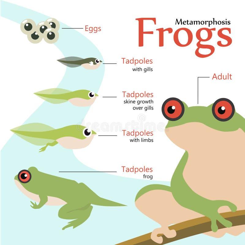 Metamorfizacja etap życia żaba wektoru ilustracja royalty ilustracja