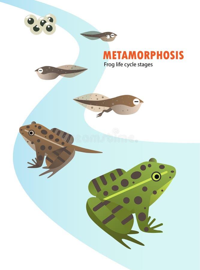 Metamorfos för grodalivcirkulering royaltyfri illustrationer