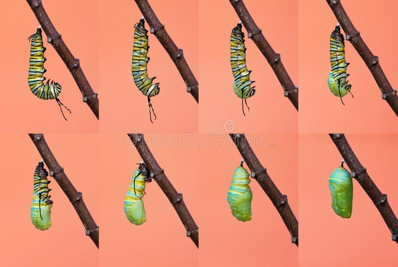 Metamorfos för monarkfjäril från larv till puppan royaltyfri foto