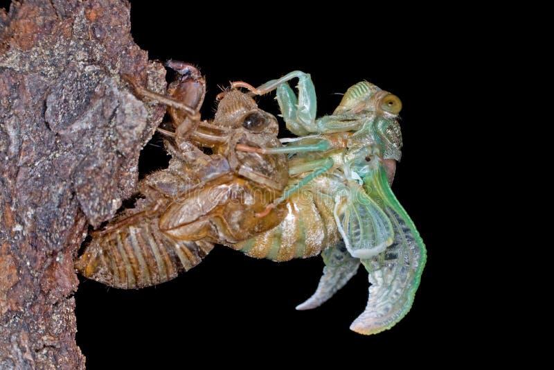 Metamorfosi di una cicala immagini stock libere da diritti