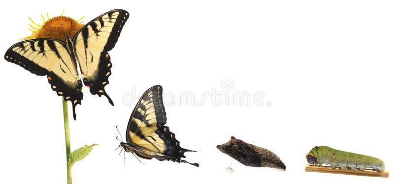 Metamorfosis de Swallowtail del tigre imagenes de archivo