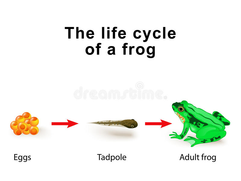 Metamorphosis amphibians, for example, the life cycle of frogs. Amphibian Metamorphosis. Life Cycle Of A Frog royalty free illustration