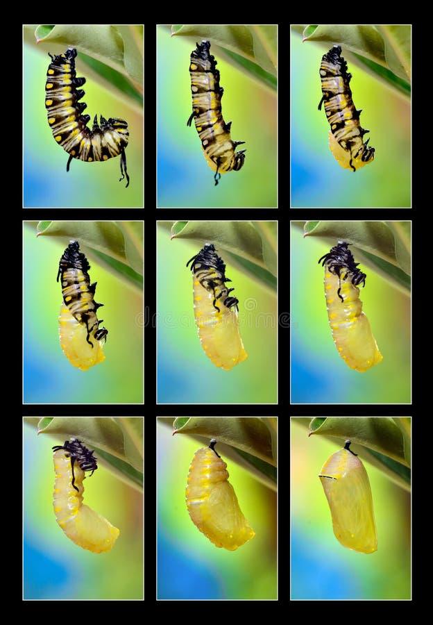 Metamorphosis av den vanliga tigerfjärilen fotografering för bildbyråer