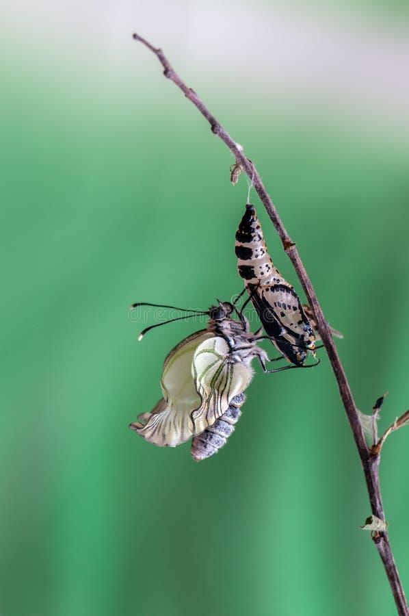 Metamorphosis av swallowtailfjärilen (Papilio machaon) som visar caterpillaren, chrysalisen och vuxen människa royaltyfri bild
