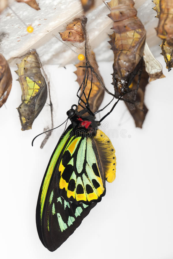 Metamorphosis - Common Birdwing Butterfly royalty free stock image