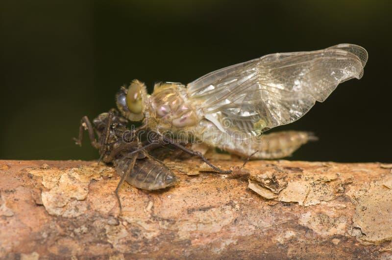 metamorphosis för aeneachrysaliscordulia royaltyfria foton