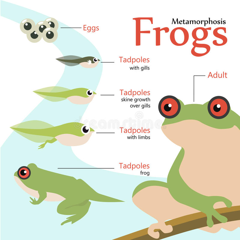 Metamorphosis Life cycle of a frog Vector illustration. Wildlife royalty free illustration