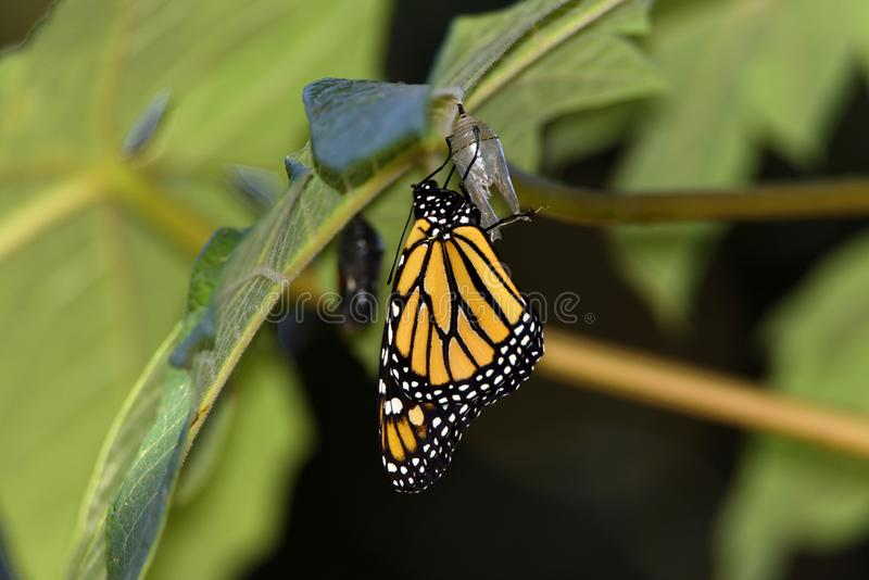 Monarch butterfly just when leaving the chrysalis. Metamorphosis of a monarch butterfly, just when leaving the chrysalis royalty free stock images