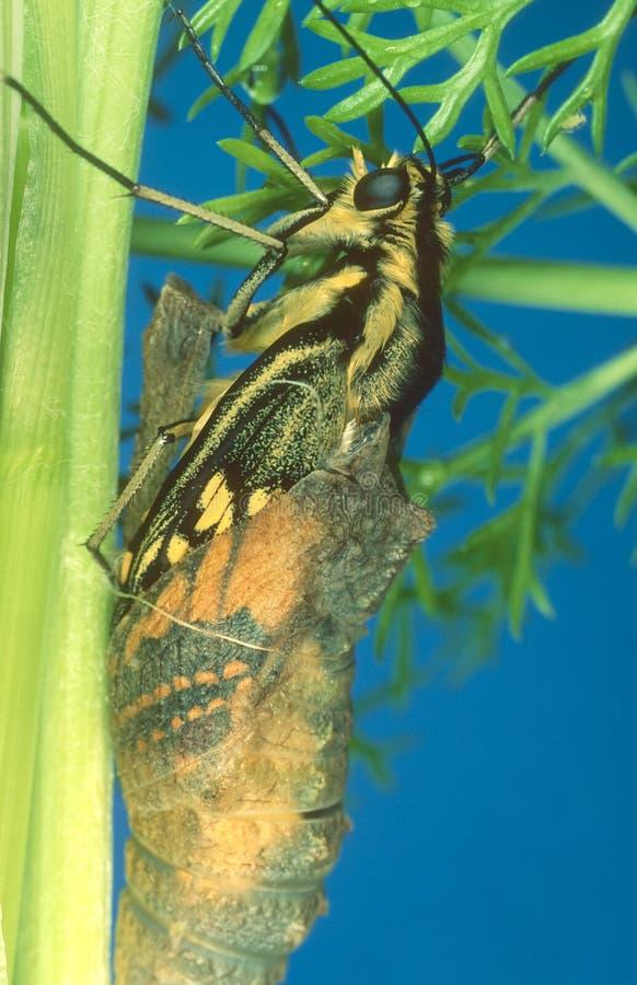 Metamorphosis series - Swallowtail. stock image
