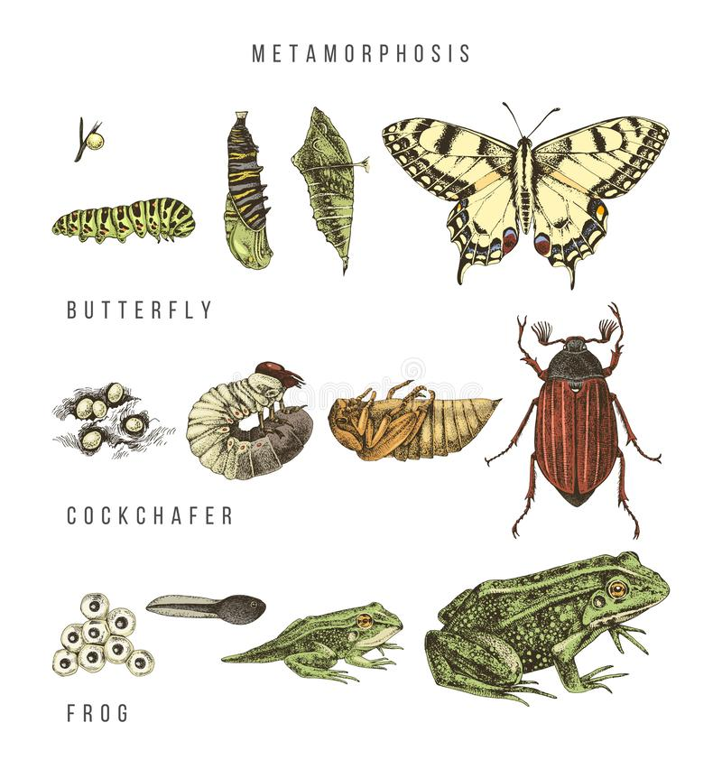 Metamorphosis of the swallowtail, cockchafer and frog. Hand drawn colorful vector illustration in retro style vector illustration