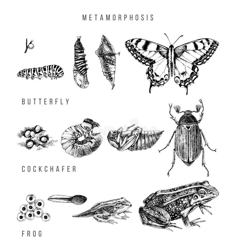 Metamorphosis of the swallowtail, cockchafer and frog. Hand drawn vector illustration in retro style royalty free illustration