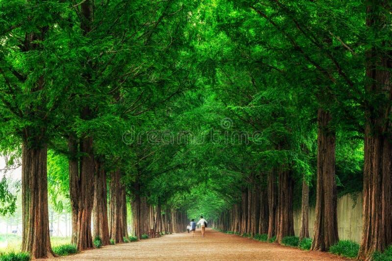 Metasequoia imagenes de archivo