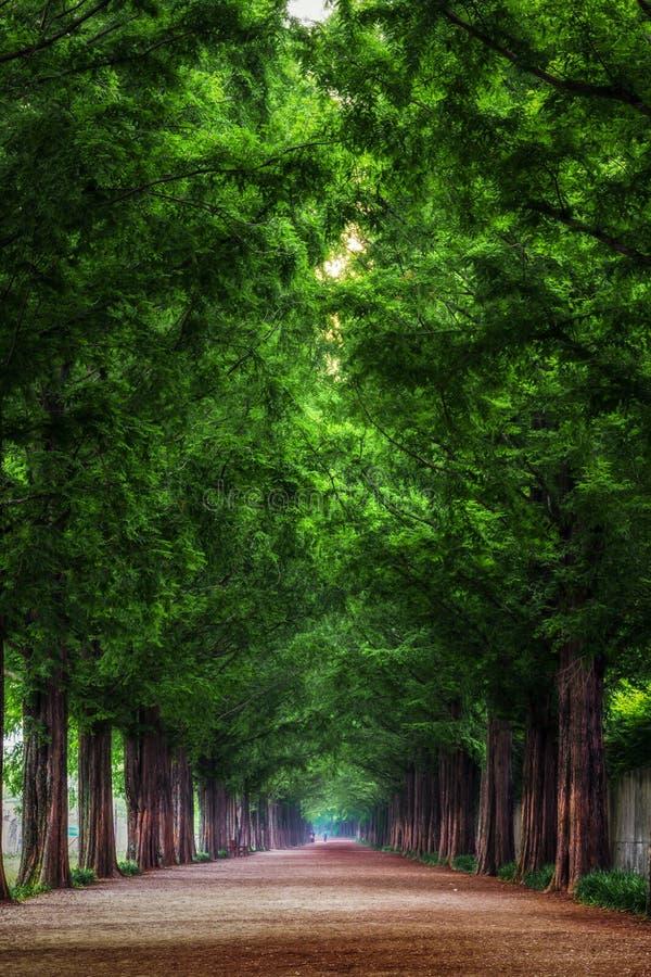 Metasequoia fotografia de stock