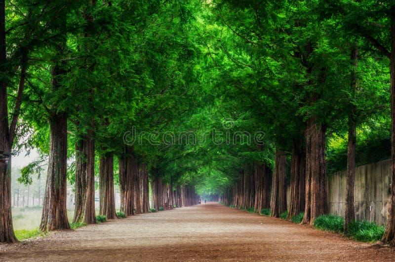Download Metasequoia obraz stock. Obraz złożonej z piękny, greenbacks - 41954183