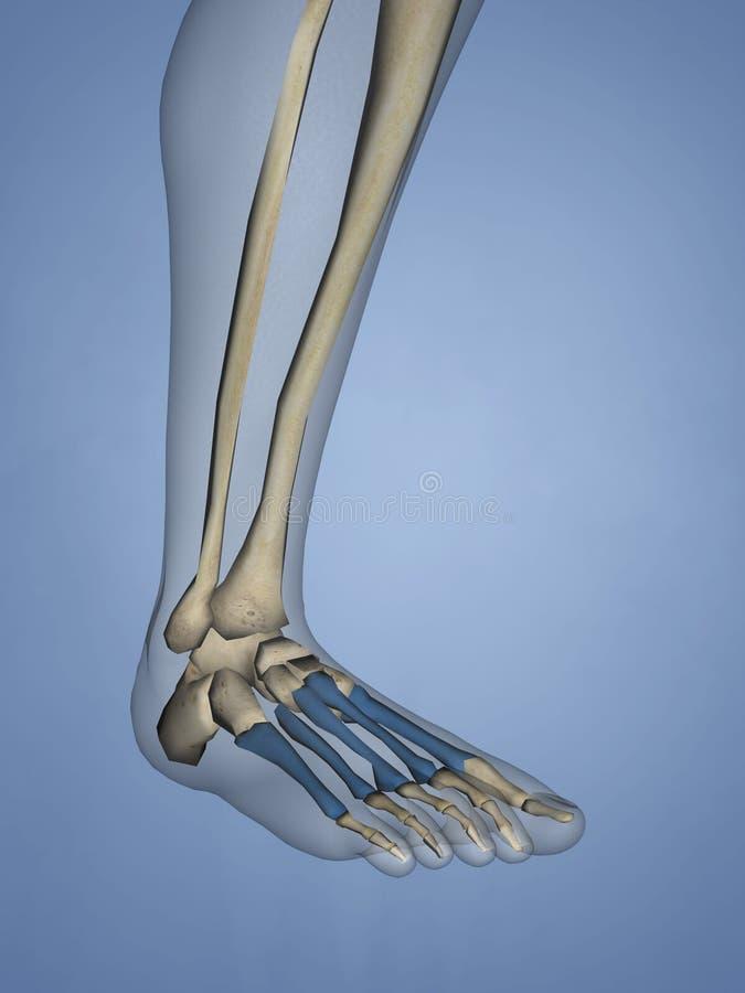 Metatarsal Bones, 3D Model stock images