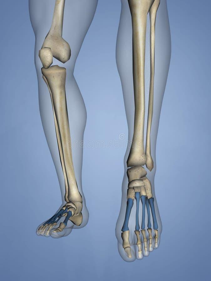 Metatarsal Bones, 3D Model royalty free stock photo