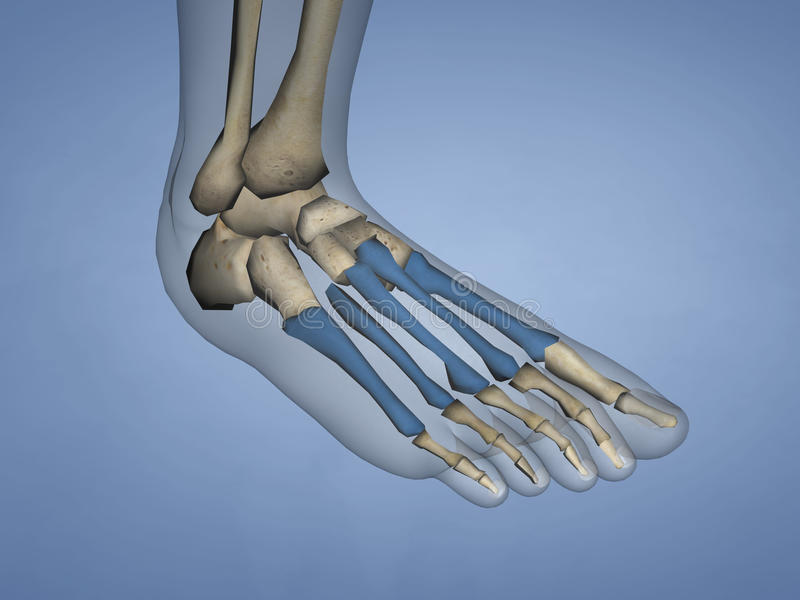 Metatarsal Bones, 3D Model royalty free stock photos