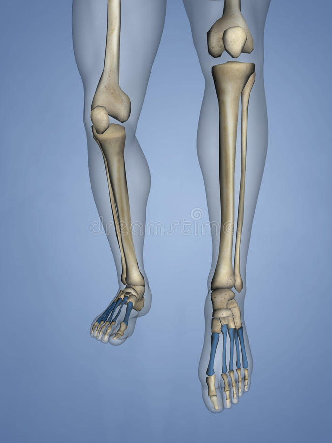 Metatarsal Bones, 3D Model stock photos
