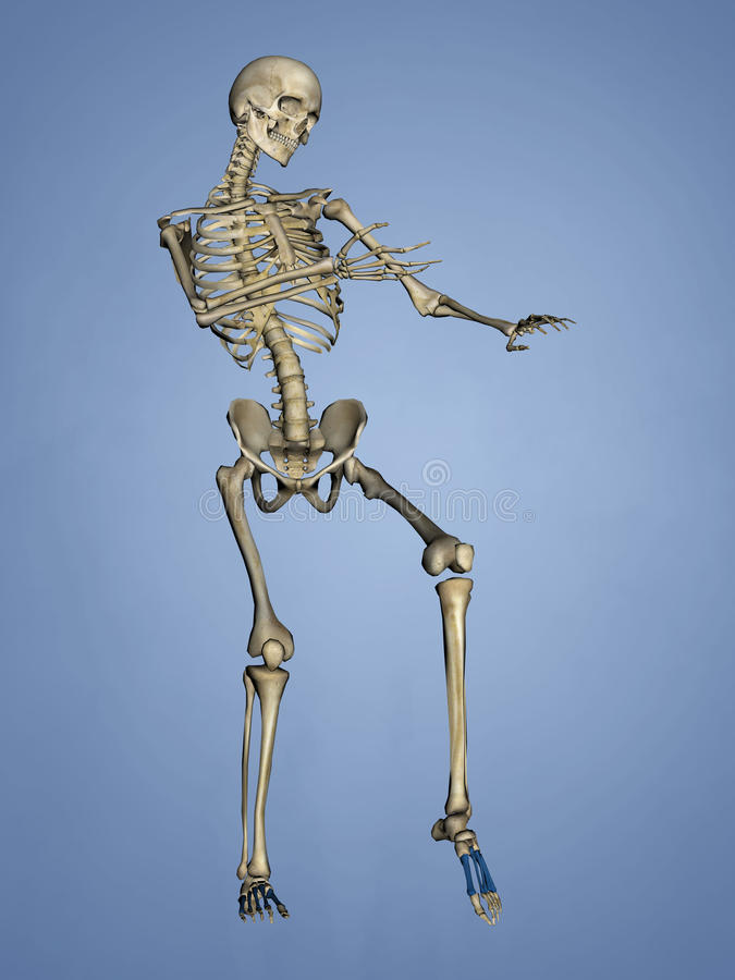 Metatarsal Bones, 3D Model royalty free stock image