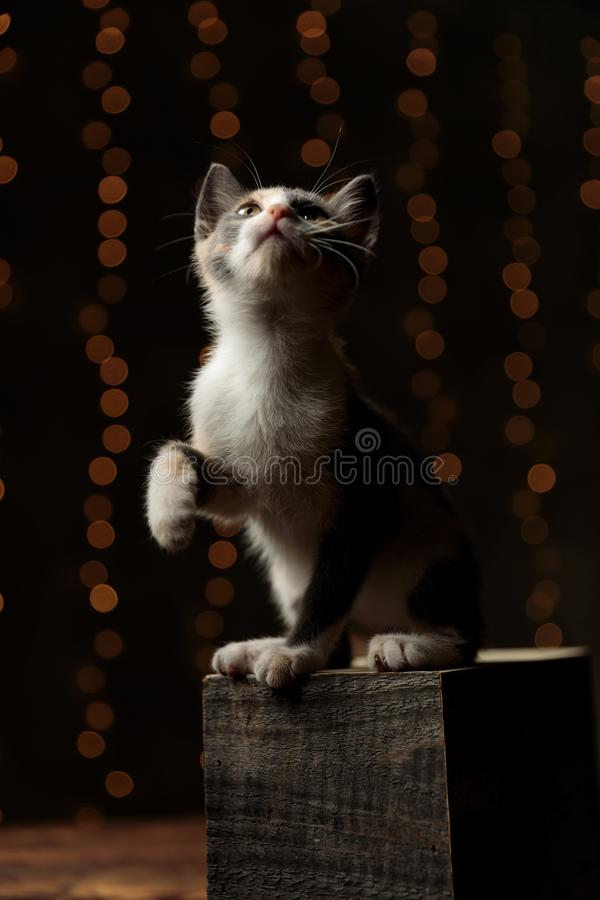 Metis cat looking up curious with one paw raised stock images