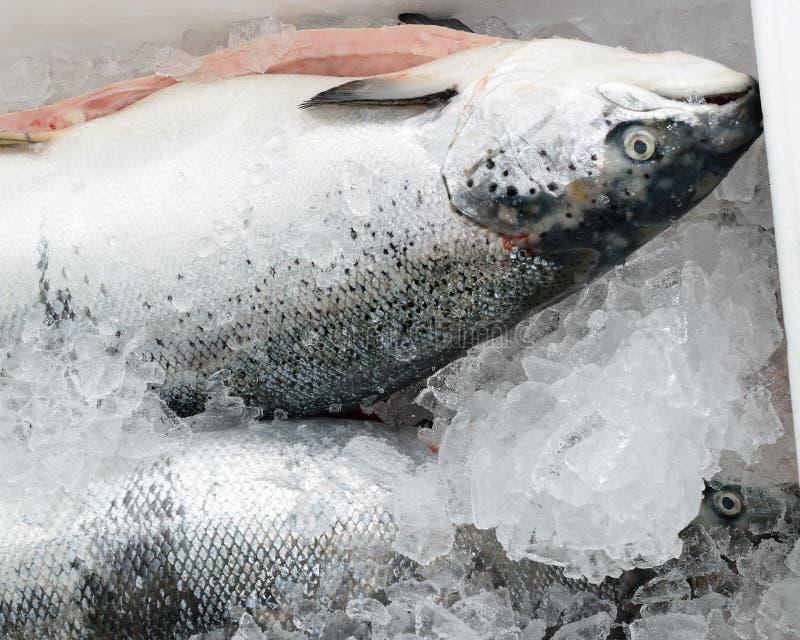 Metoden av lagring av den nya fisken i isbröstkorgen royaltyfria foton