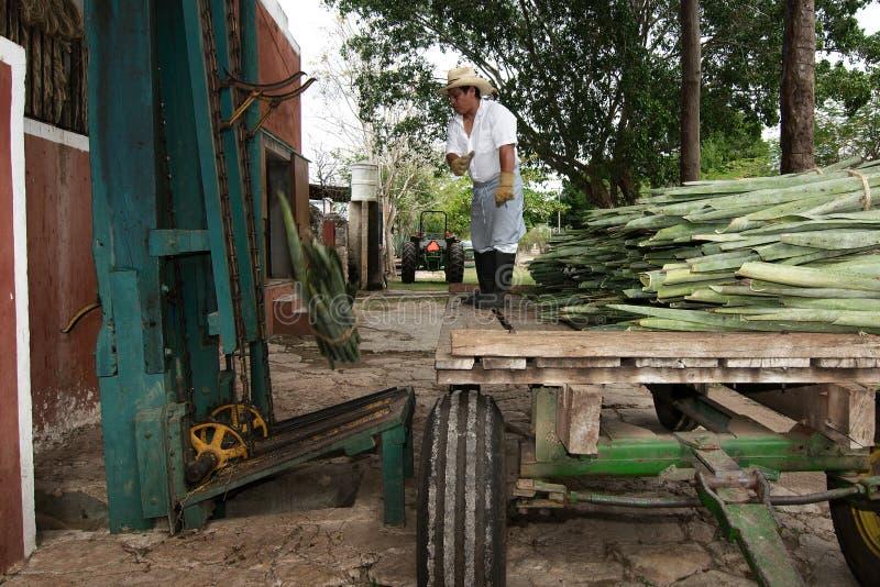 Metodo tradizionale di ottenere filo dalla pianta di henequen fotografie stock libere da diritti