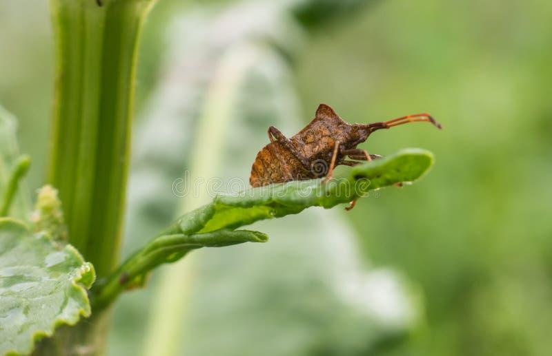Metta in bacino l'insetto sulla foglia della pianta del bacino Curled dopo pioggia immagini stock