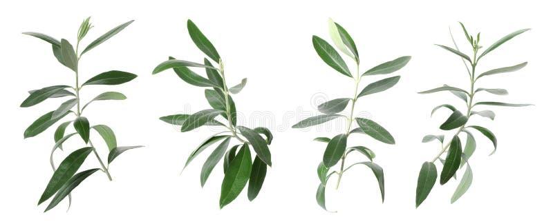 Metta con i ramoscelli verde oliva verdi e le foglie immagini stock libere da diritti