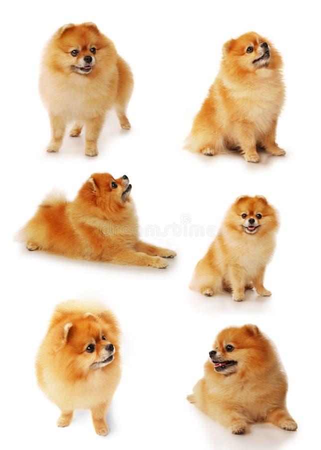 Metta dei cani di Pomeranian isolati su un fondo bianco fotografia stock libera da diritti