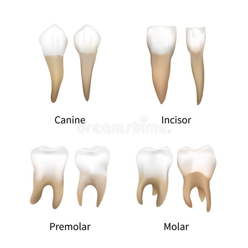 Metta dei tipi umani realistici dei denti isolati su bianco illustrazione di stock