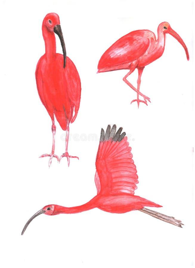 Metta del color scarlatto degli ibis watercolor illustrazione vettoriale