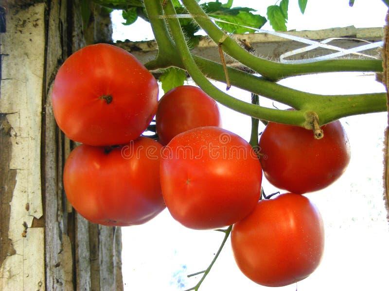 Metta del pomodoro rosso sul ramo immagini stock libere da diritti