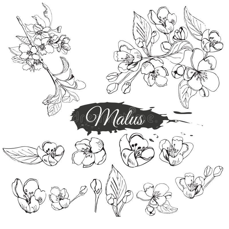 Metta del ramo sbocciante di melo e del punto astratto Schizzo disegnato a mano dei fiori del malus isolati su fondo bianco illustrazione vettoriale