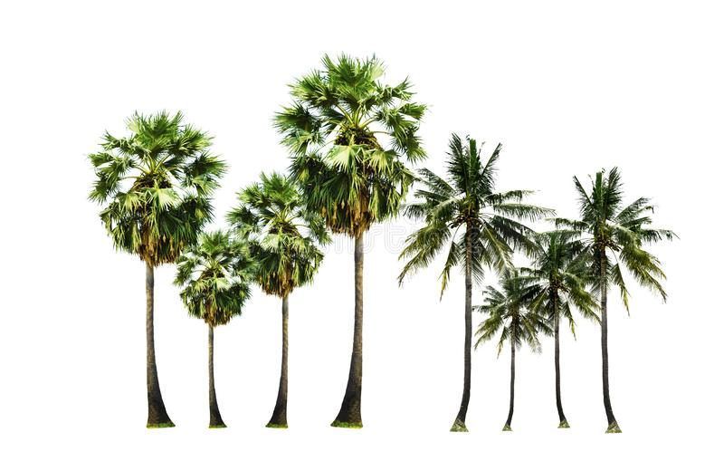 Metta dell'albero di noci di cocco e dello zucchero di palma, frutticoltura tropicale su nel giardino, isolato su fondo bianco fotografia stock