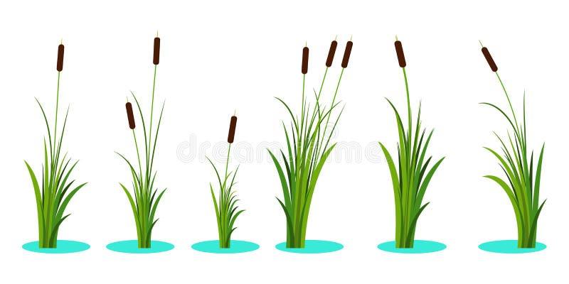 Metta delle canne di varietà con le foglie sul gambo Pianta di Reed Illustrazione piana di vettore isolata su fondo bianco Il cli royalty illustrazione gratis