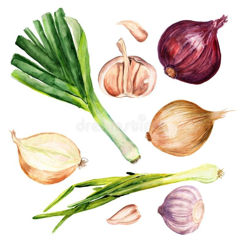 Metta delle cipolle e dell'aglio illustrazione di stock