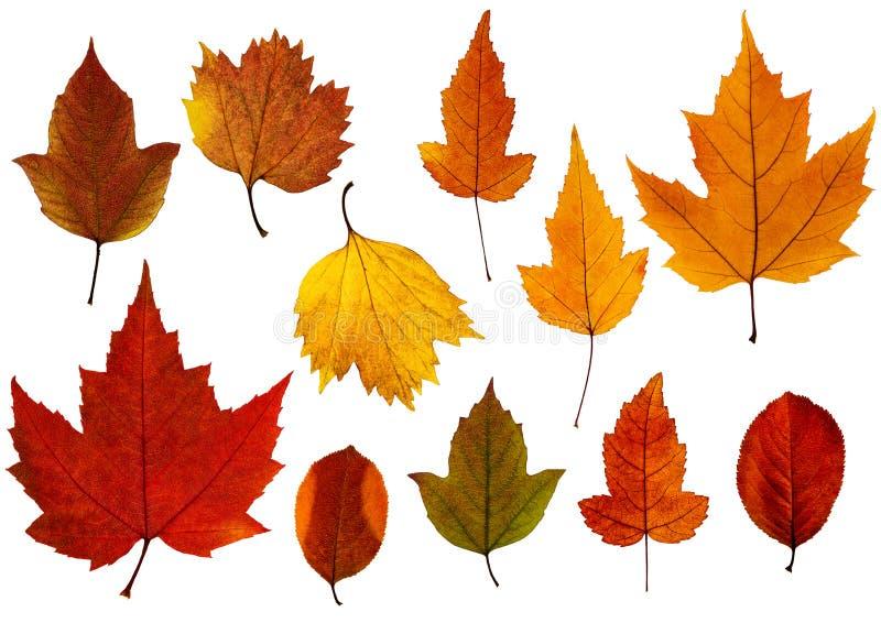 Metta delle foglie di caduta isolate sui precedenti bianchi fotografia stock libera da diritti