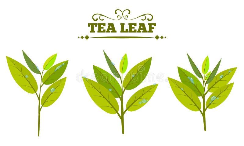 Metta delle foglie di tè verdi isolate su un fondo bianco Foglia di tè con goccia di acqua o rugiada Illustrazione piana di vetto illustrazione di stock