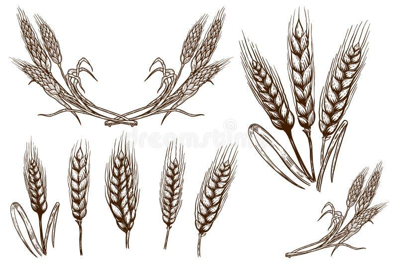 Metta delle illustrazioni della spighetta del grano su fondo bianco Progetti l'elemento per il manifesto, la carta, l'insegna, al illustrazione di stock